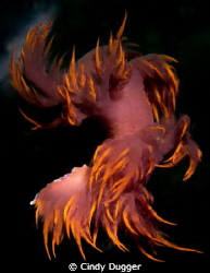 Dancing away...  A Dendronotus Iris swimming (fleeing) ab... by Cindy Dugger 